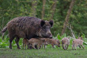 Afrikanische Schweinepest bei Schwarzwild